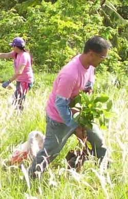 An employee of an SEDC supplier help in planting Acacia aure trees.